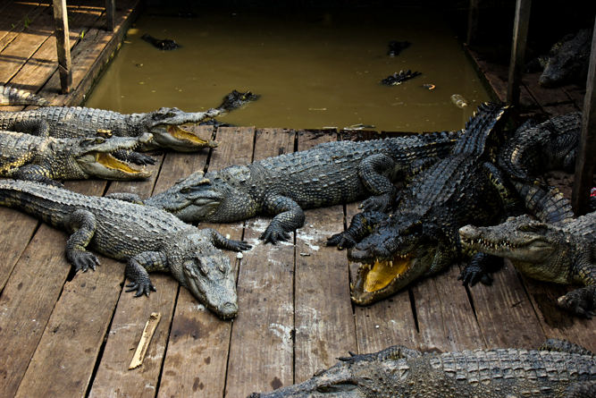crocodile-farm-tonle-Sap